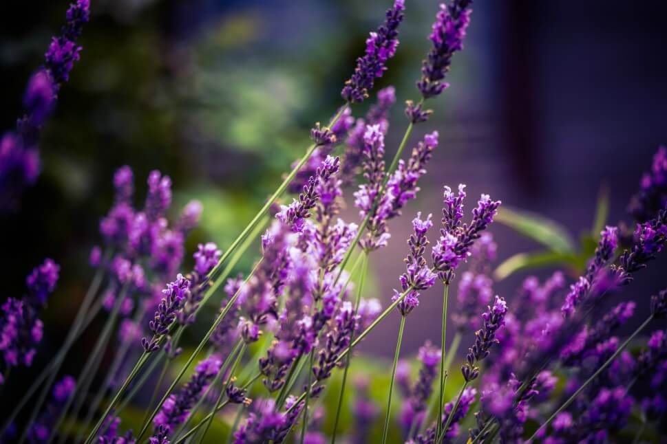 lavender-in-cosmetic-aroma-essential-oil